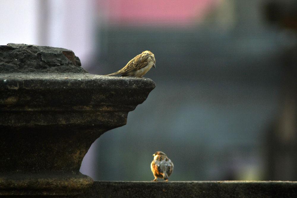 sparrow couple by Jhinku Banerjee
