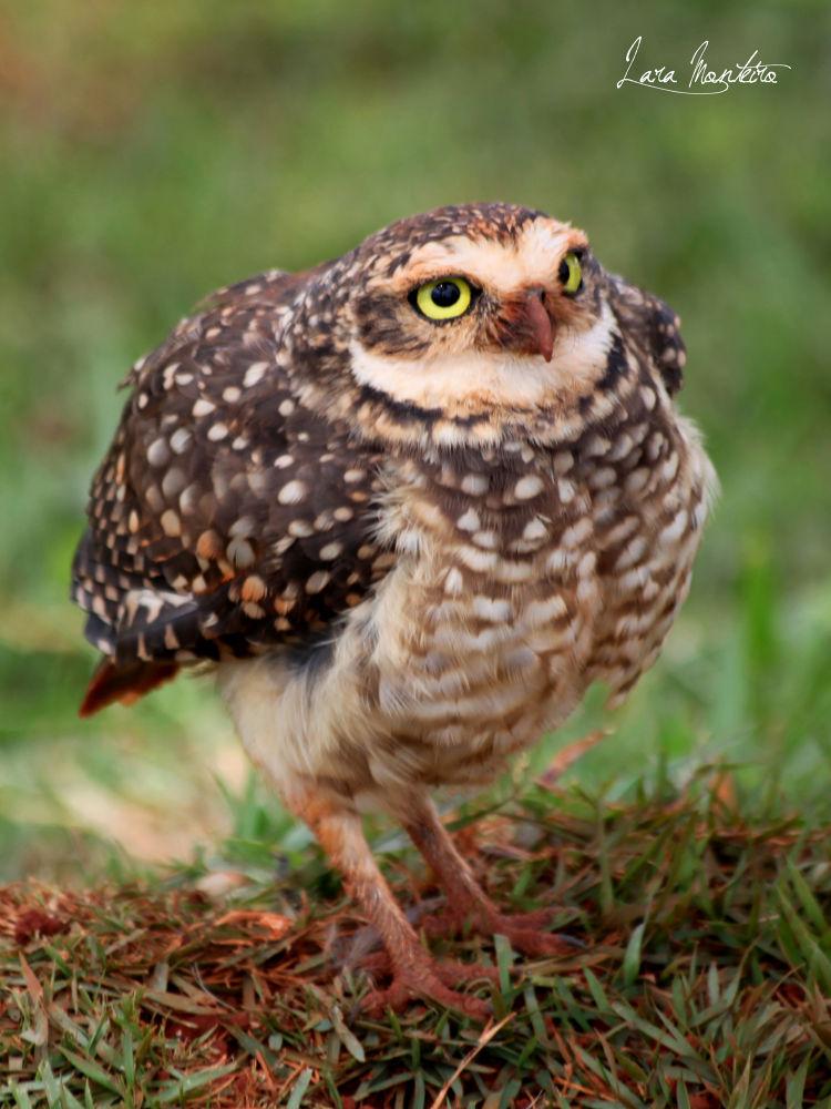 Owl by laracarolina75