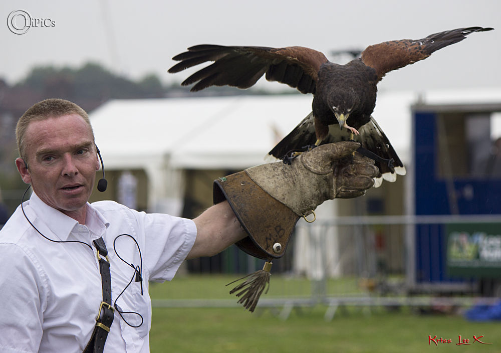 Photo in Animal #harris #hawk #display #bird #glove #public