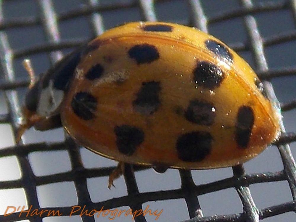 Photo in Nature #lady #male #bug #orange #black #spots