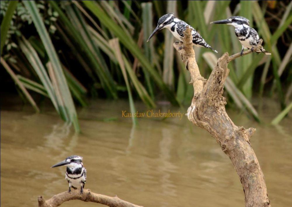 3 musketious ,,,, Pied Kingfishers..... by Kaustav Chakraborty