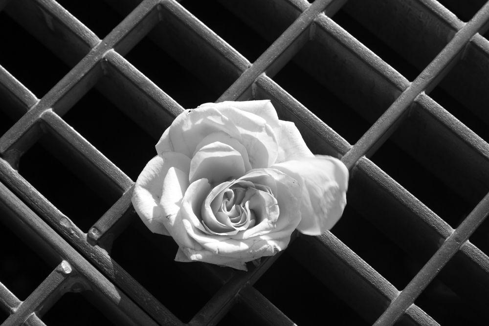 rose  by Danielle Evrim