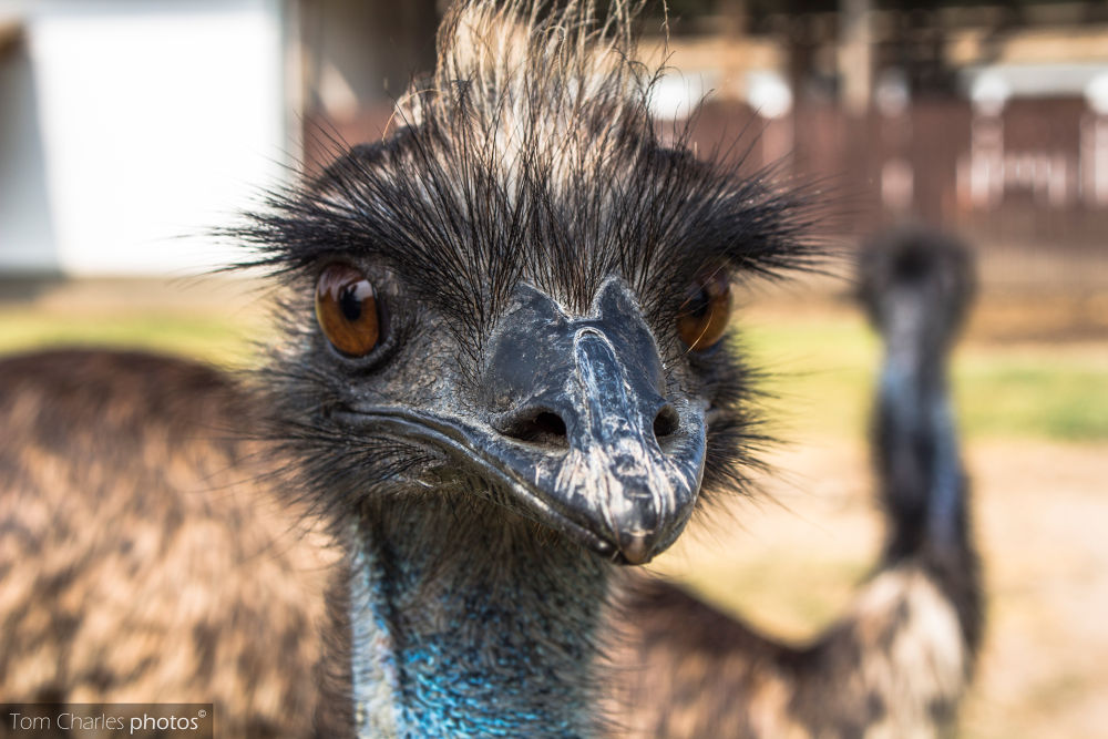 Emeu by TomCharlesphotos