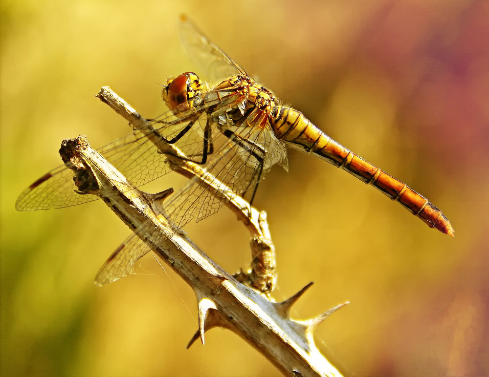 dragonfly by klepherone