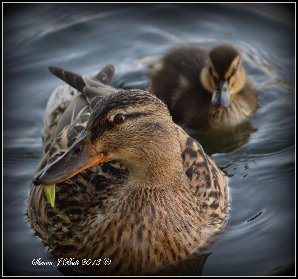 Puddle Ducks by Simon Bult