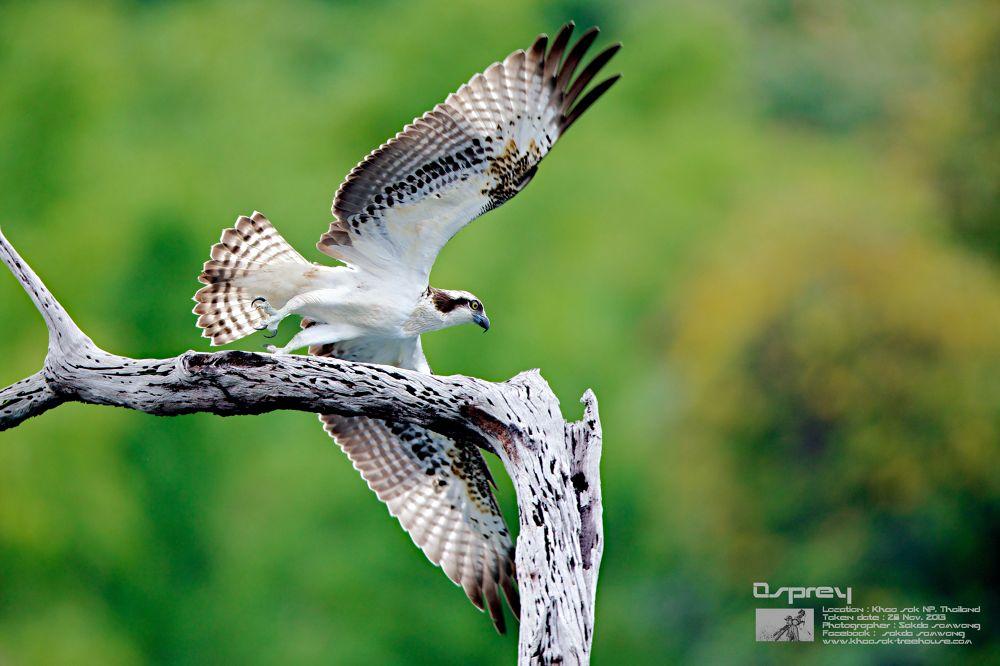 Flying Osprey By ; Sakdasomwong by sakdasomwong