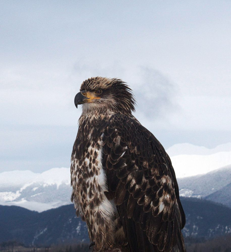 Immature Bald Eagle by Photomom101