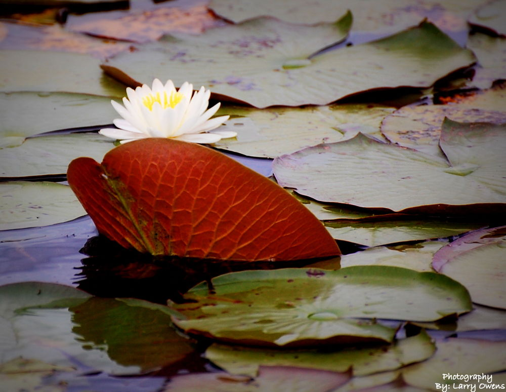 Waterlily Hiding Behind Lilypad by larryowens5268