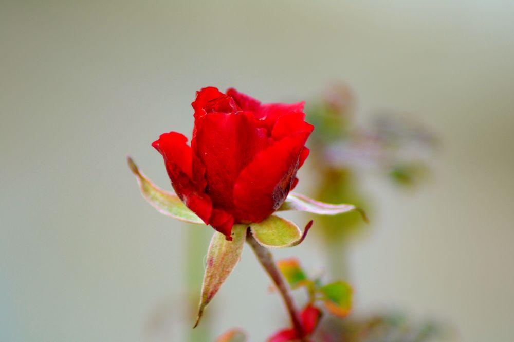 UNE BELLE ROSE by murielcharton