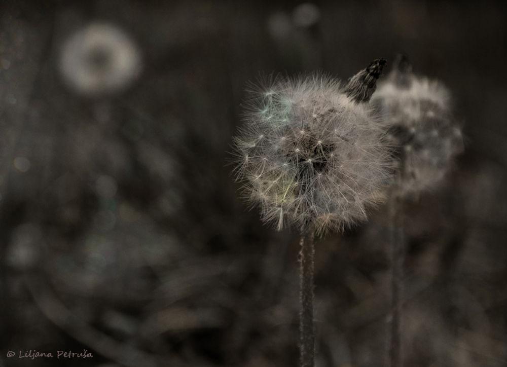 Dandelions  by lpetrusa