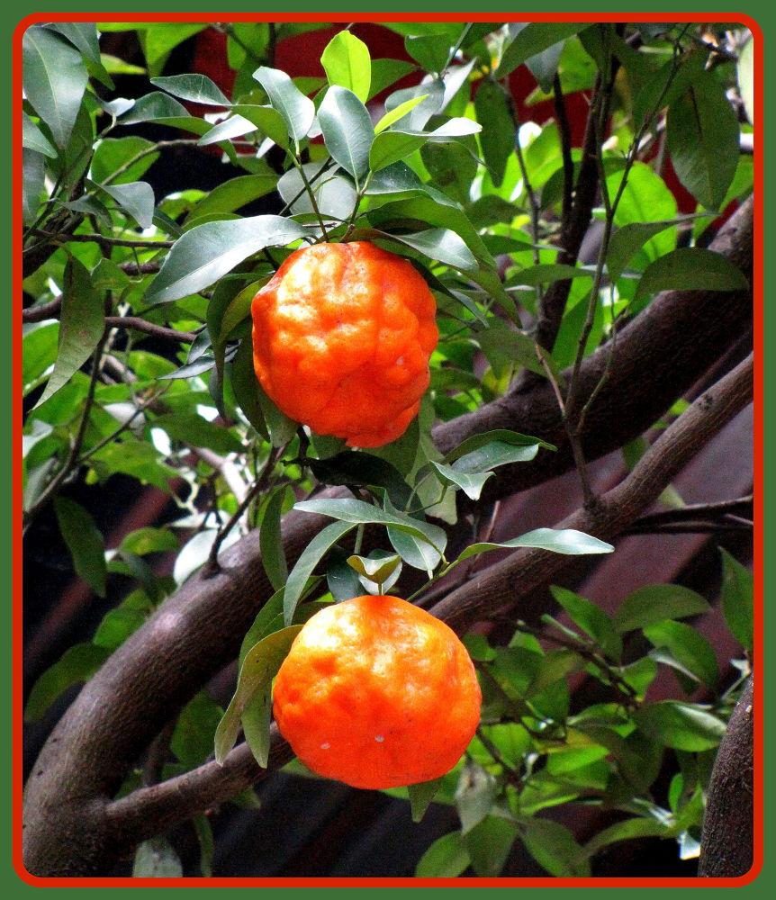 Orange by saharajib