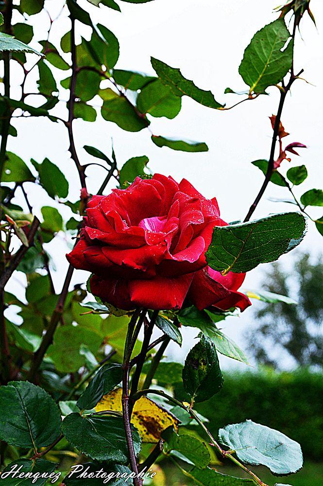 Derniere rose by sarahenquez9