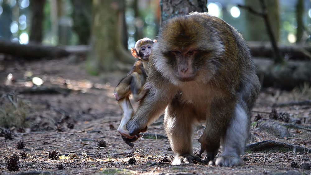 Barbary macaque, mother and son by Asterix93
