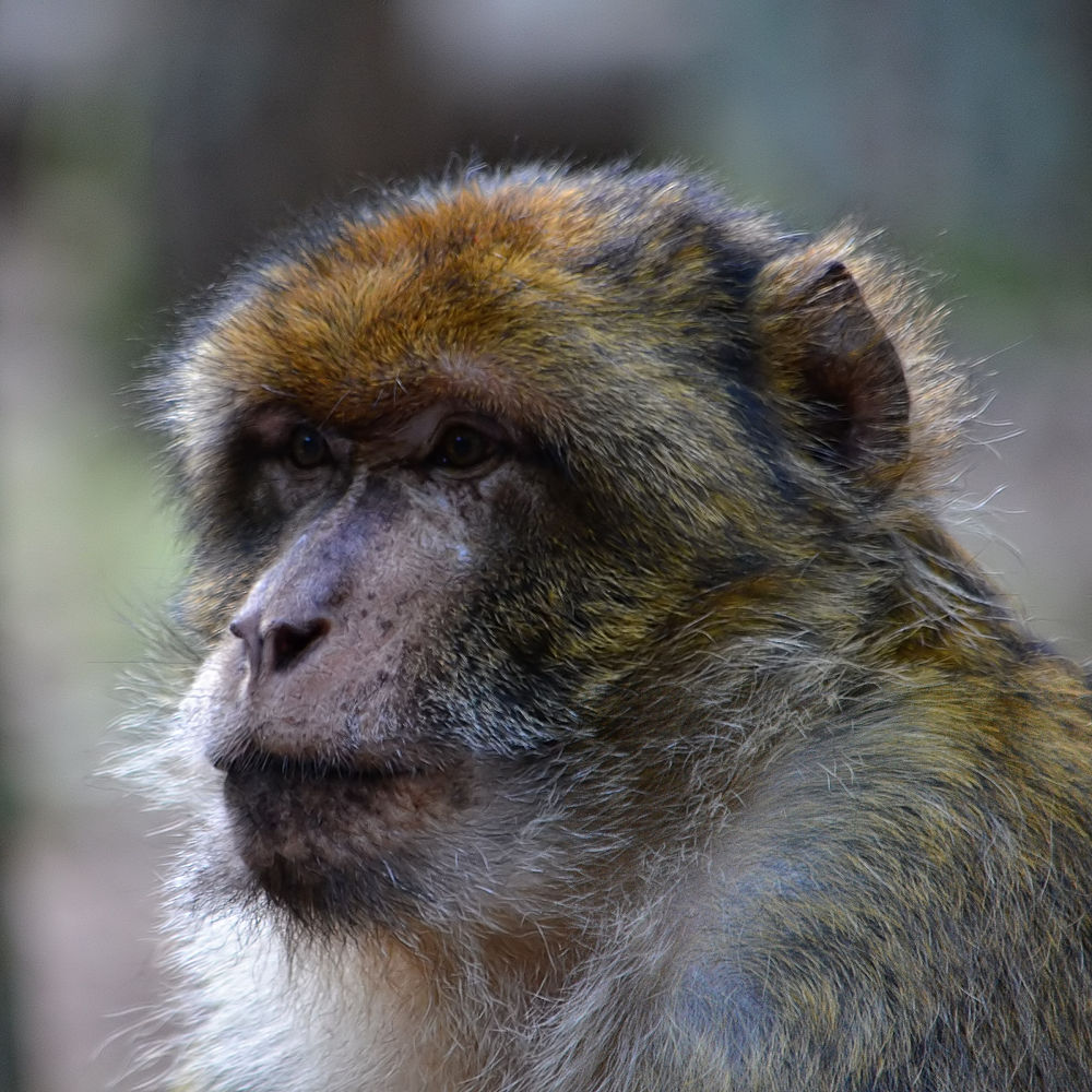 Barbary macaque portrait by Asterix93