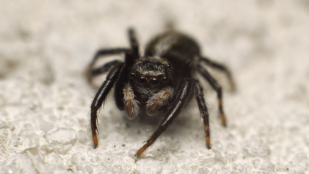 Salticidae by Asterix93
