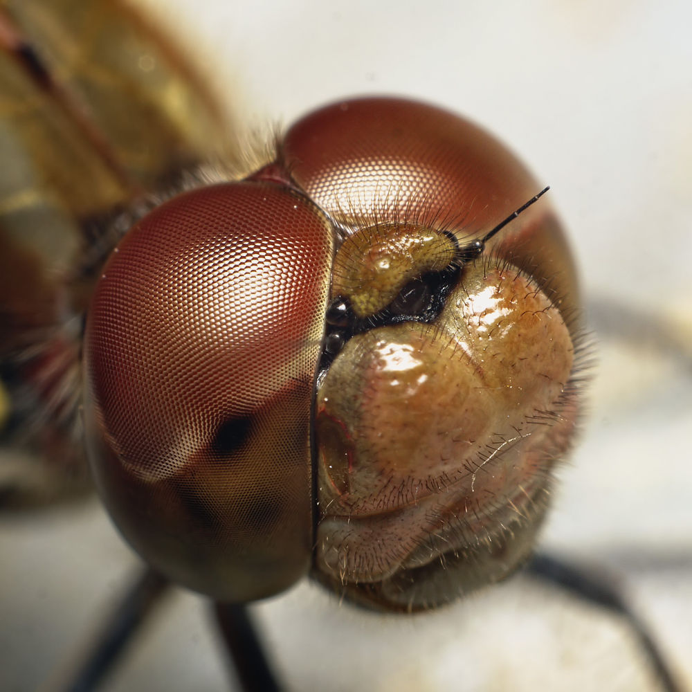 Dragonfly big closeup by Asterix93