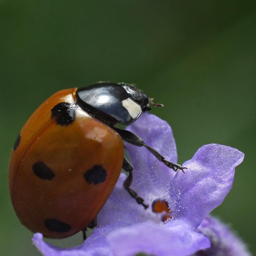 Ladybug by Asterix93