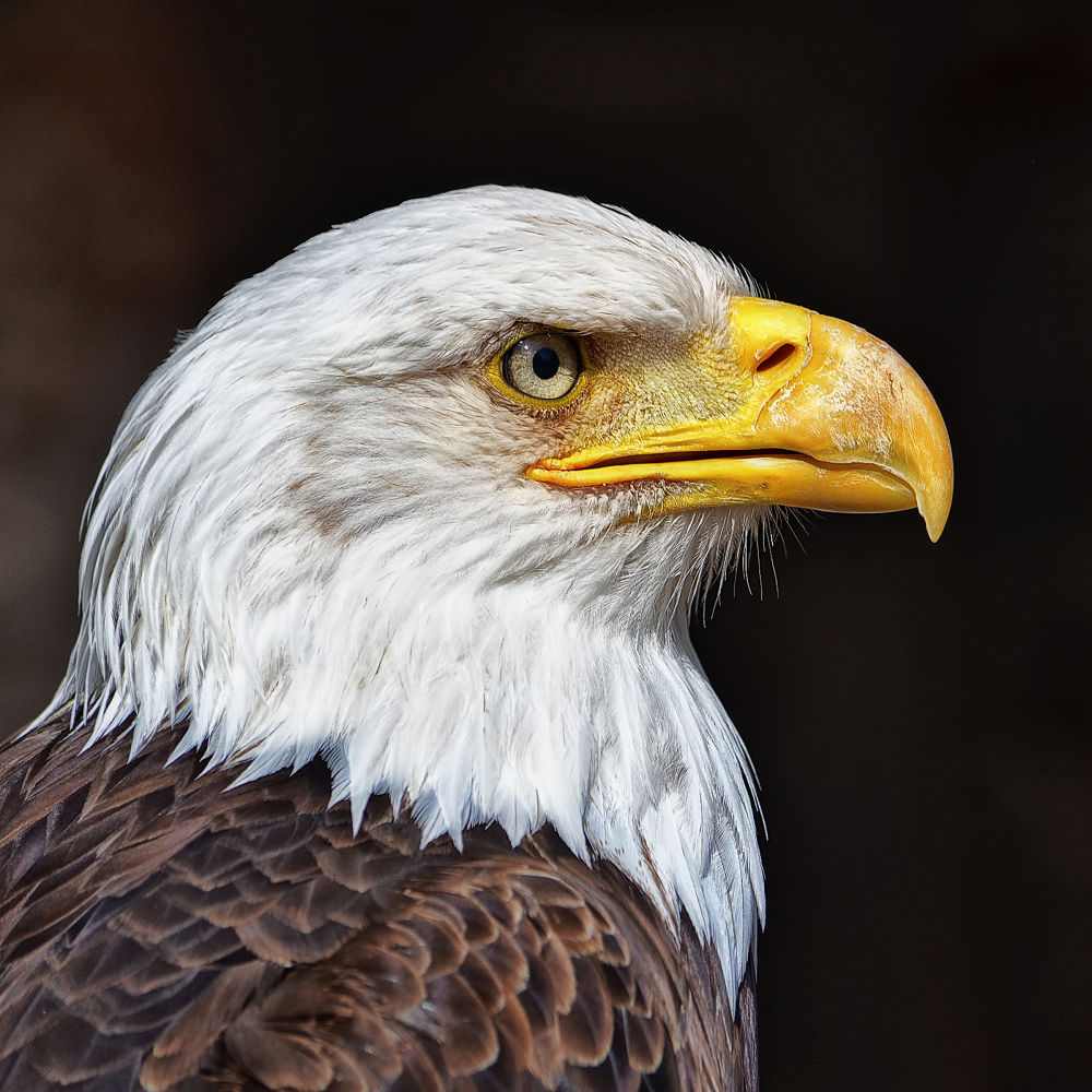 Bald eagle by Asterix93