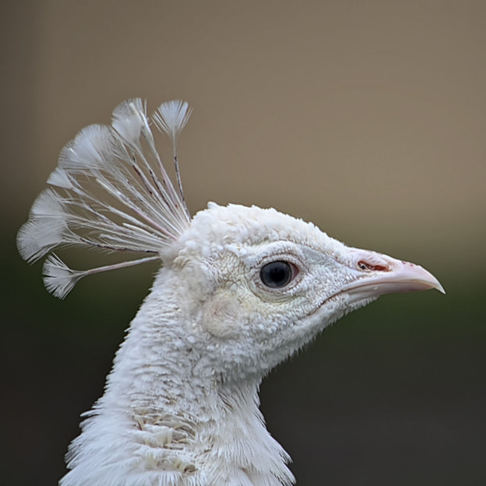 White peacock by Asterix93