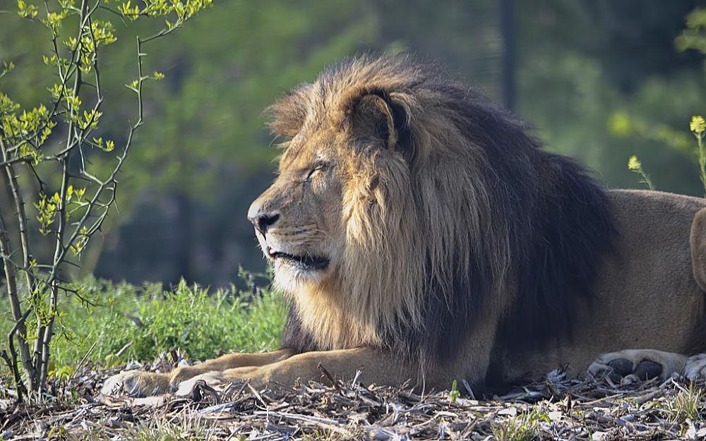 Lion at Zoo de Vincennes by Asterix93
