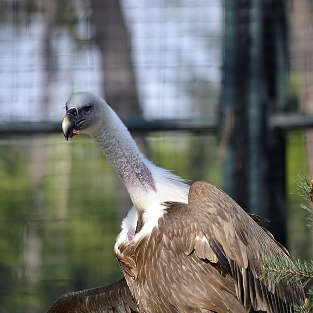 Vulture at Zoo de Vincennes by Asterix93