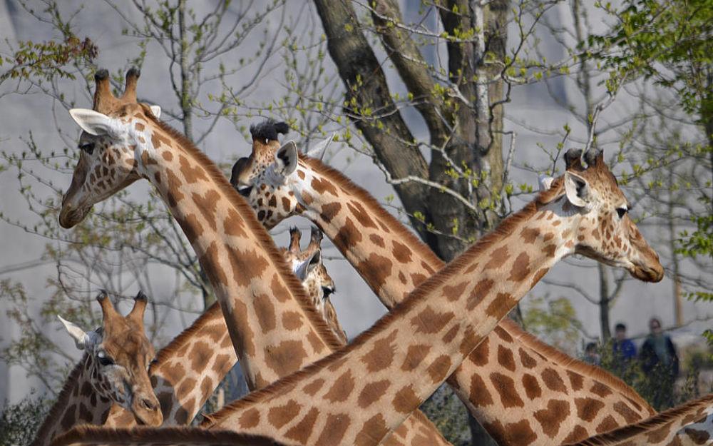 Giraffes at Zoo de Vincennes by Asterix93