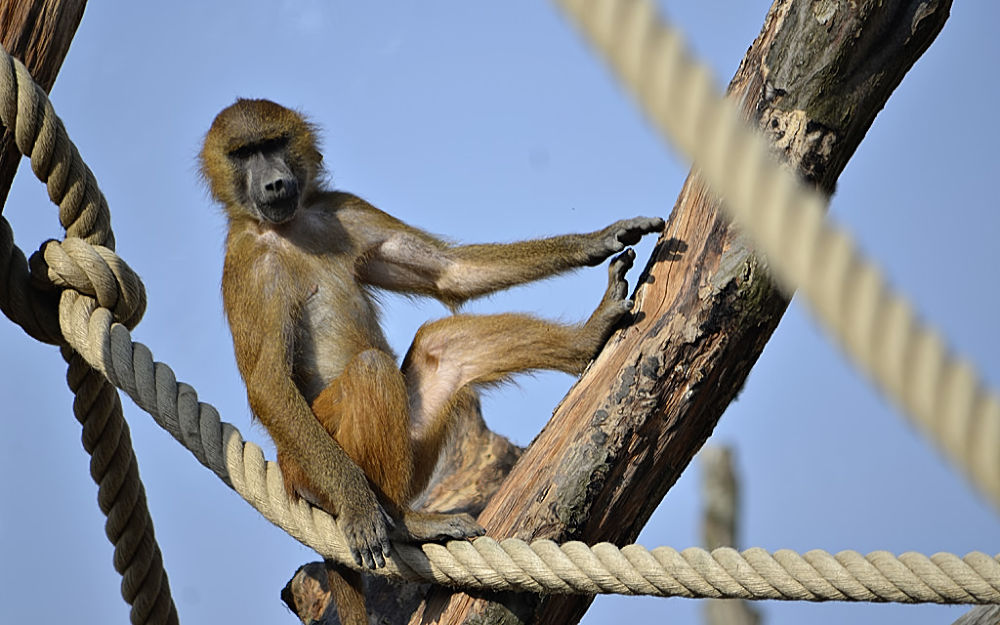 Baboon at Zoo de Vincennes by Asterix93