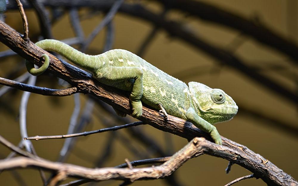 Chameleon at Zoo de Vincennes by Asterix93