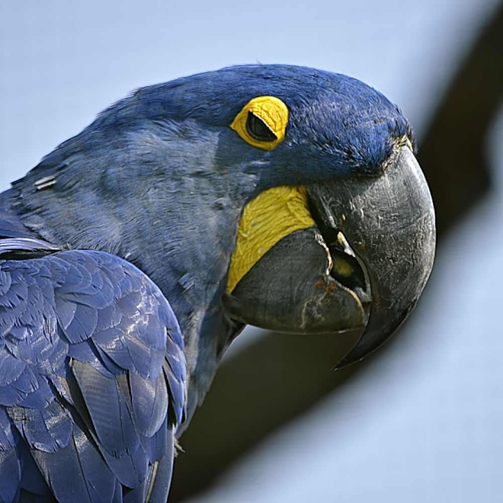 Hyacinth Macaw at Zoo de Vincennes by Asterix93