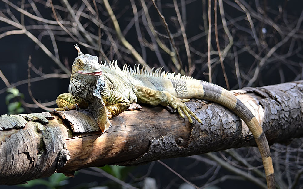 Iguana at Zoo de Vincennes by Asterix93