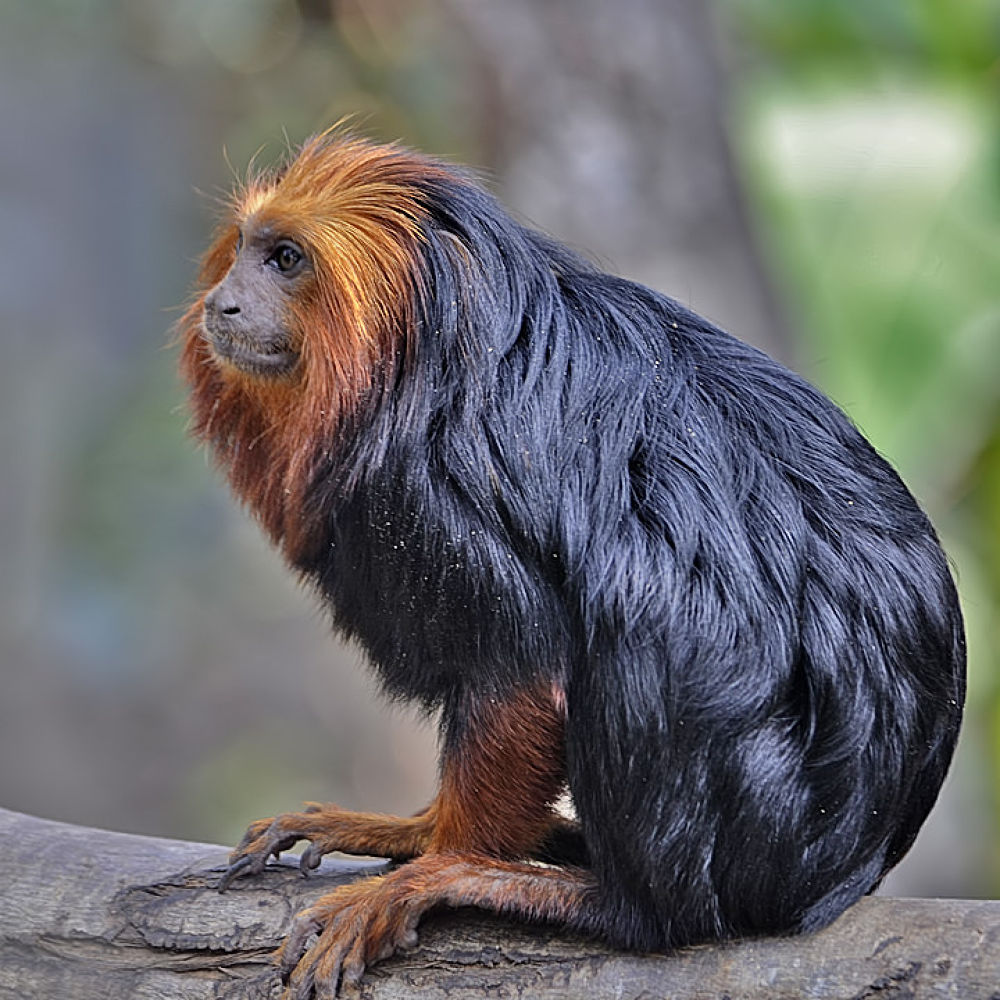 Golden-headed lion tamarin by Asterix93