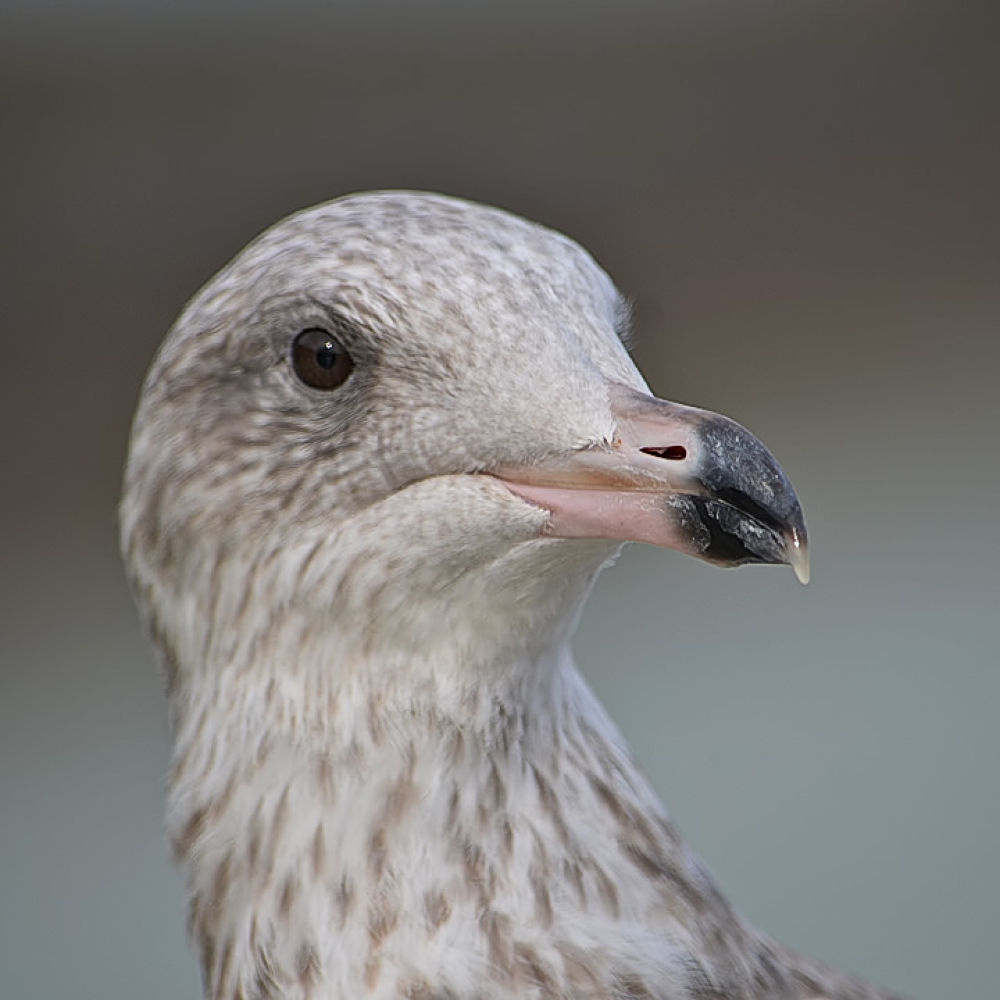 Seagull by Asterix93