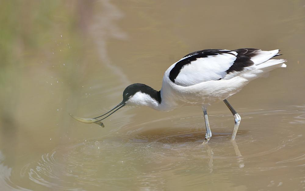 Pied avocet fishing by Asterix93