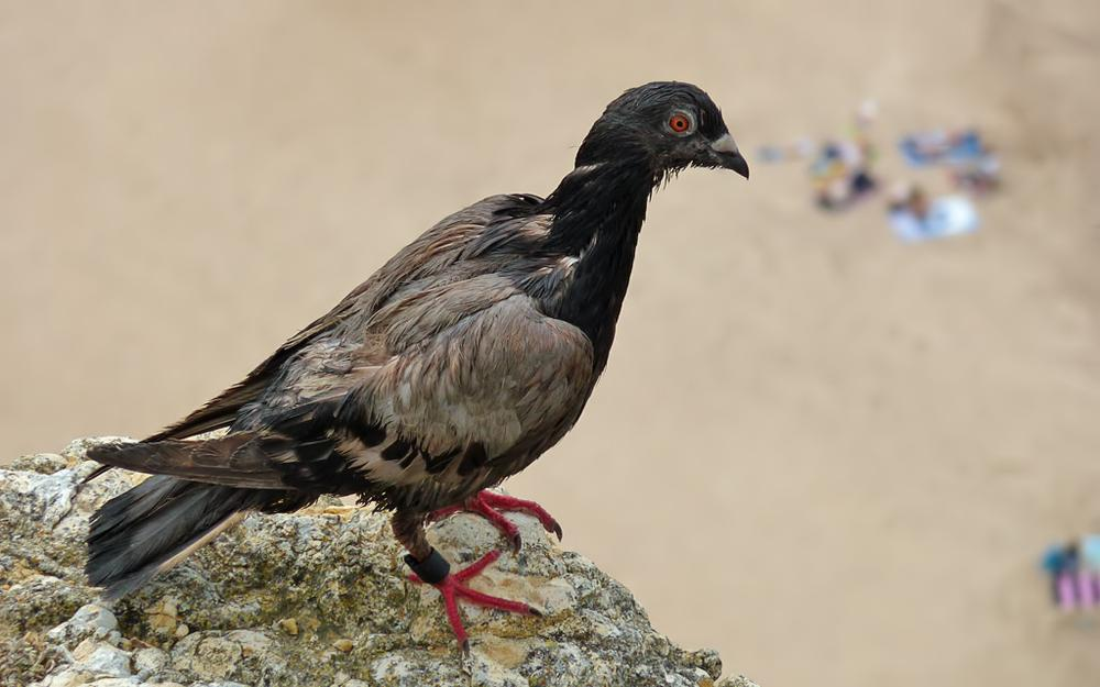 Pigeon at Nazaré beach (Portugal) by Asterix93