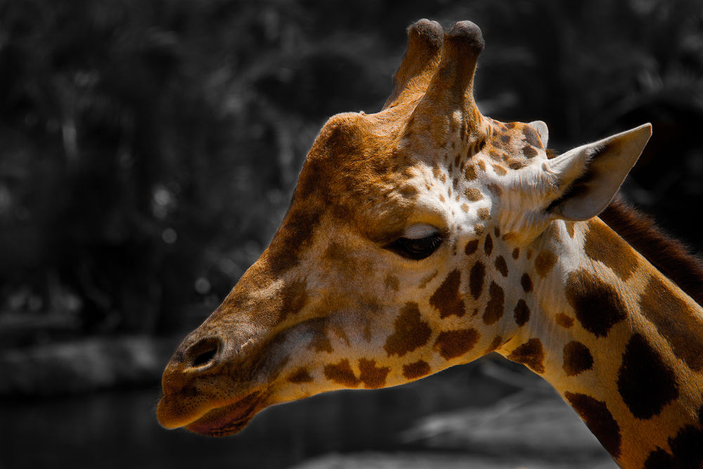 Photo in Animal #jirafa #giraffe #animal #bioparc #valencia #spain #ypa2013 #amador esquiu #amadoresquiu #b&w #black and white