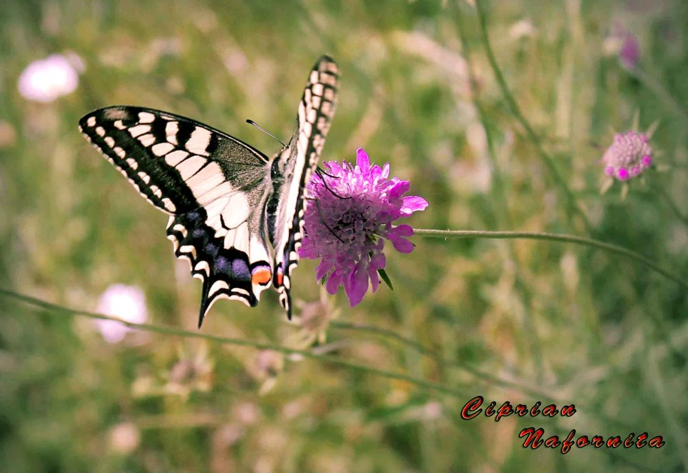 farfalla by Ciprian Nafornita