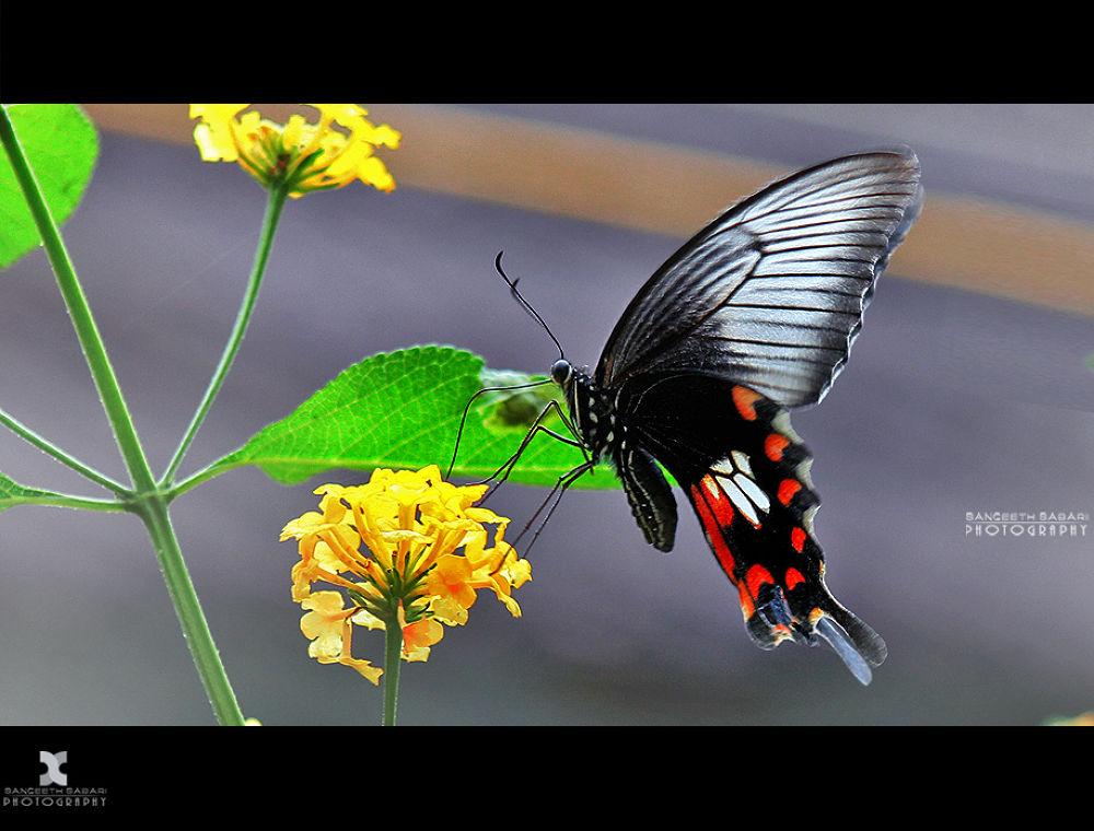 Butterflies are self propelled flowers.. by sangeethsabari