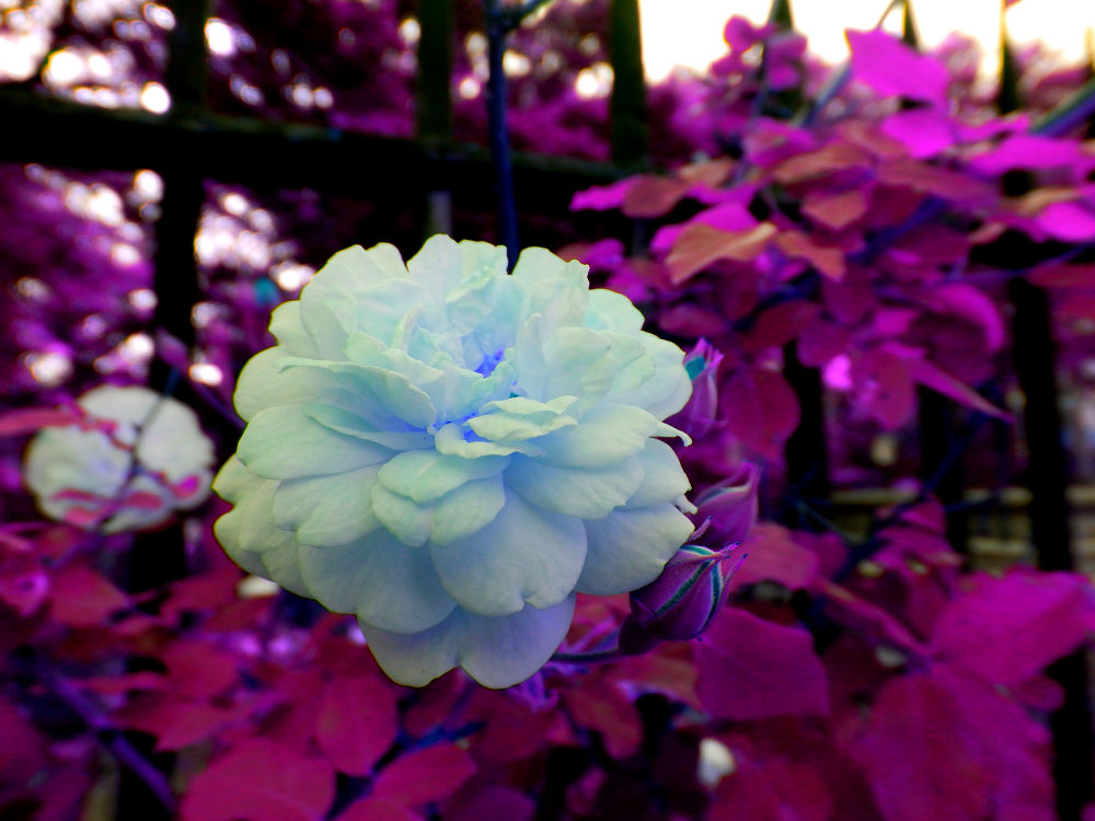 Purple Dahlia by Liv Drum