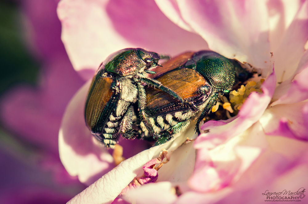 Love love beetles by Laurence Marchetti