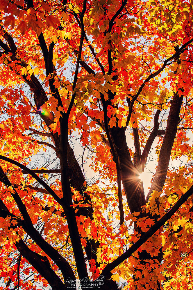 Photo in Nature #tree #leaf #leaves #red #orange #fall #autumn #flare #sun #nature #canada #quebec #colors
