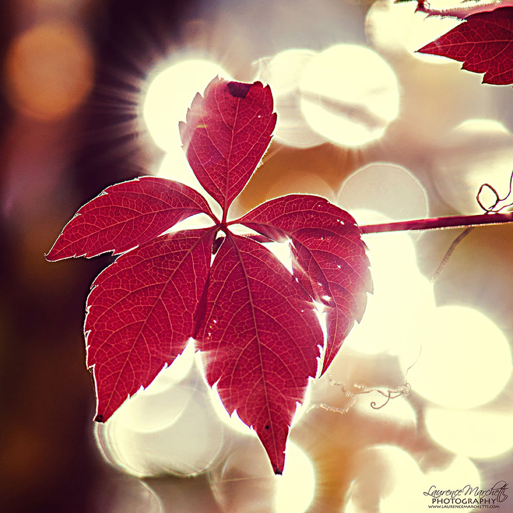 Photo in Nature #leaf #leaves #shining #autumn #fall #bokeh #light #red #nature #quebec #canada #square