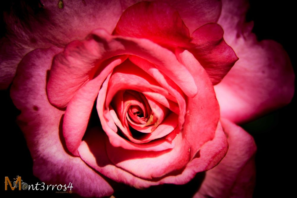 Rose_1 by mont3rros4