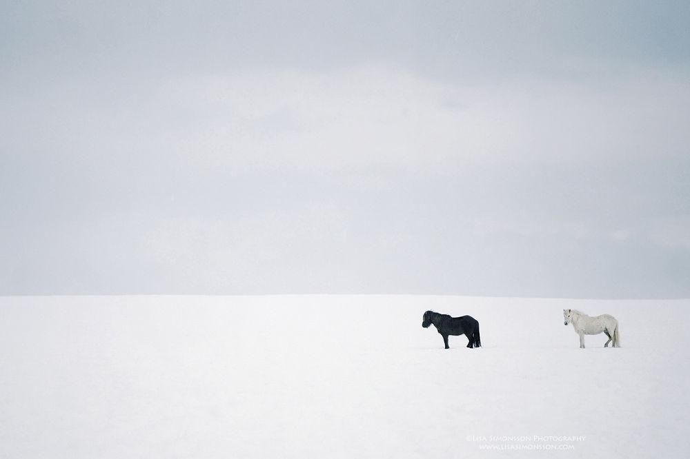 Icelandic horses by donasimona