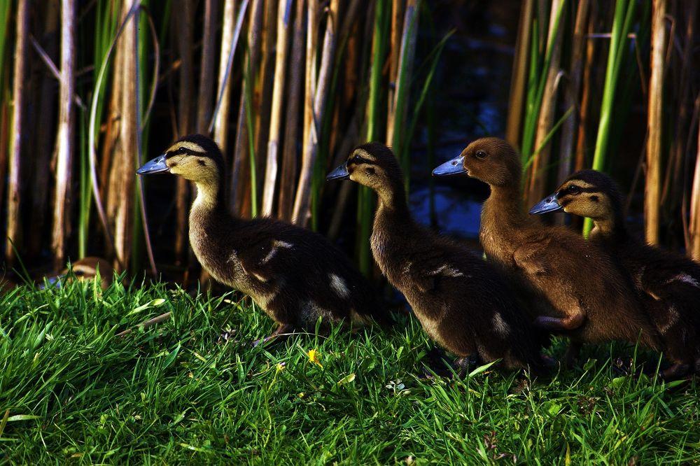 Wild little ducks by saussan1