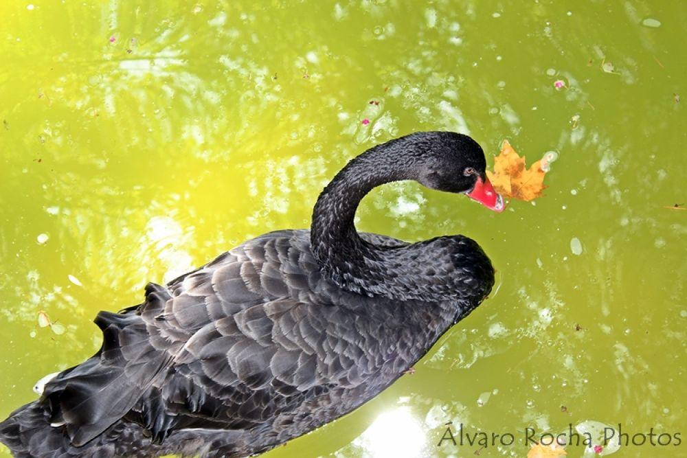 Black Swan  by AROCHA