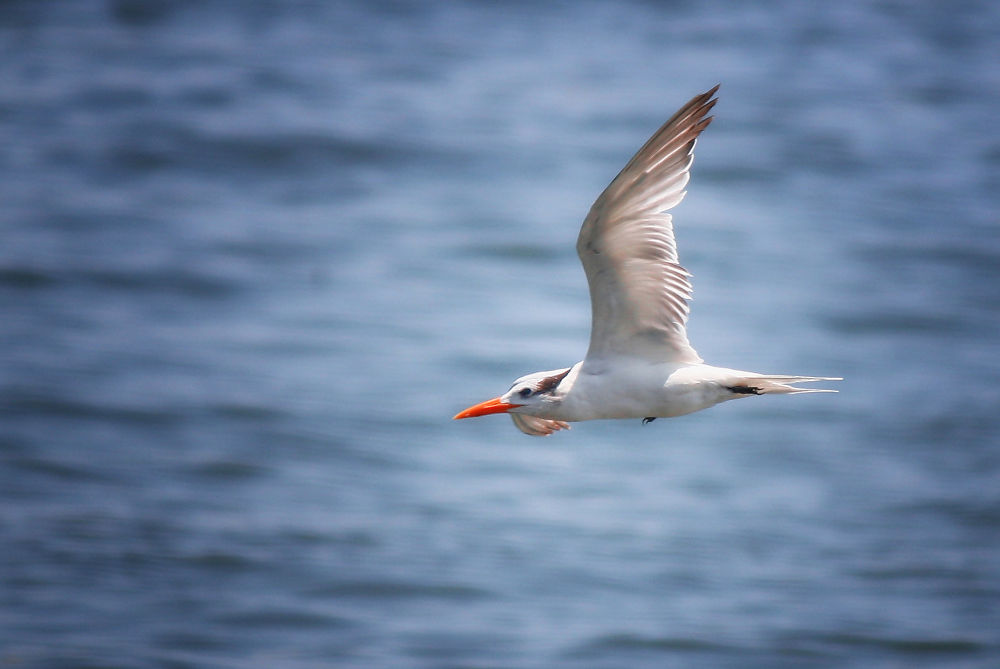 Tern in Flight (1) by Jorge Coromina