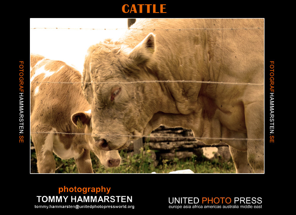 cattle by tommytechno