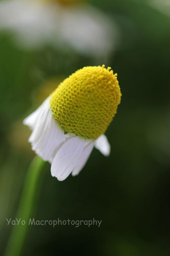 MANZANILLA 2 (26)-chamomile-white yellow by guarachera
