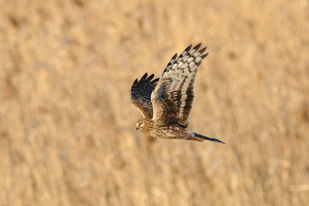 Photo in Animal #hen harrier #bird #ypa2013
