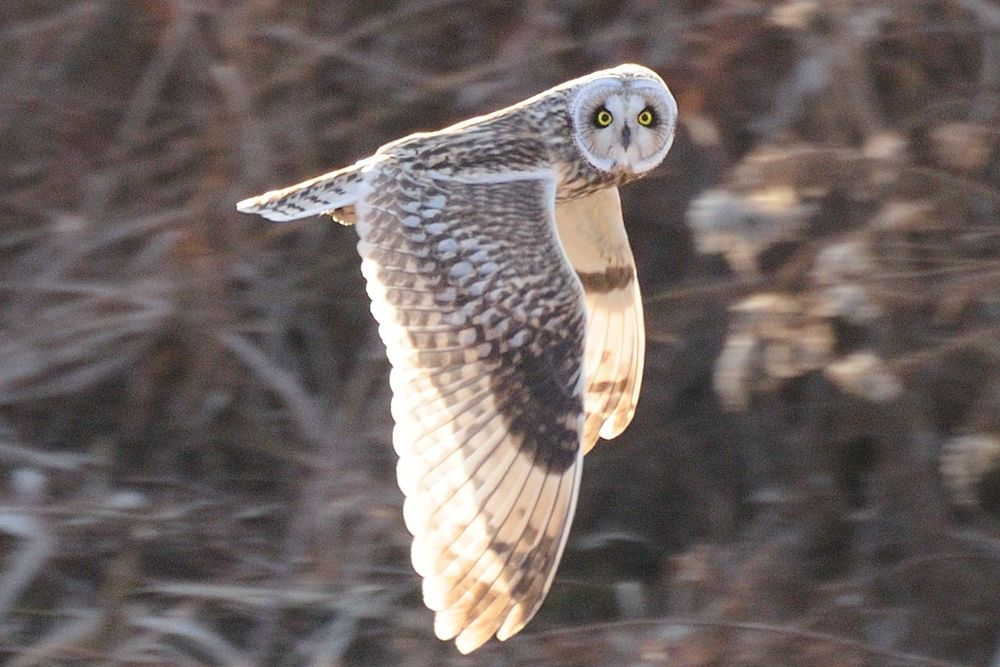 Photo in Animal #short-eared owl #bird #ypa2013